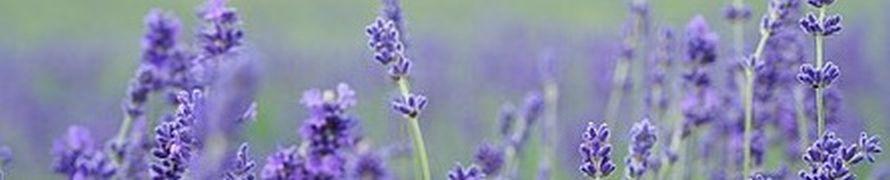 lavender-field-1031258__340